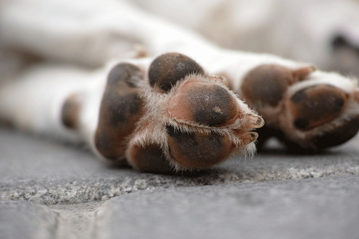 white dog lying on ground with dry and cracked paw pads