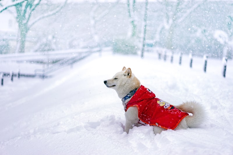 white dog exploring winter land with paw protection against salt and ice