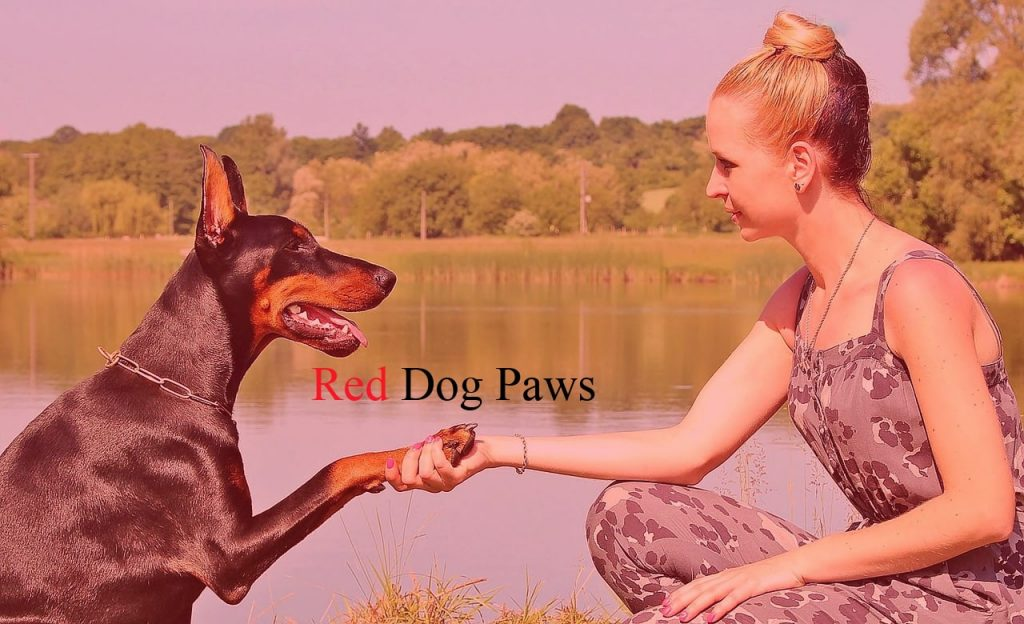 woman inspecting red dog paws on mid-sized doberman