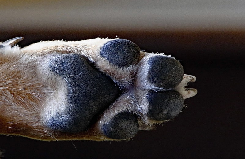 Dog paw from close view