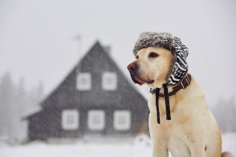 Labrador Retriever dog in winter cap