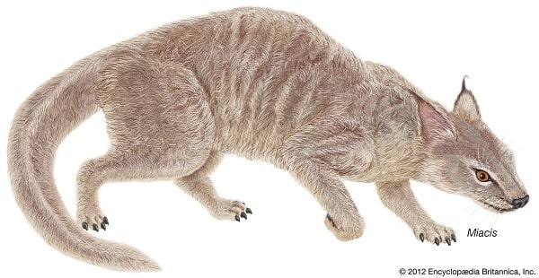 Miacis illustration and its paw evolution