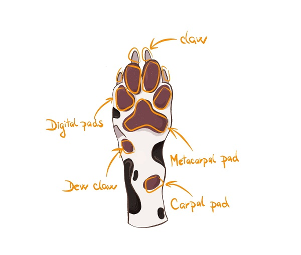 dog paw anatomy in detail illustration